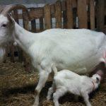 Maman chèvre et son petit
