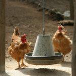 Poulets et mangeoire