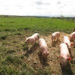 Bonjour les cochons