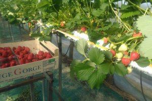 Elles sont belles mes fraises !