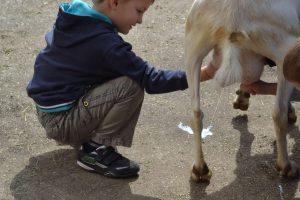 Traire une chèvre