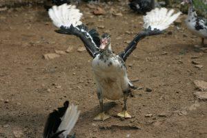 Le canard vole