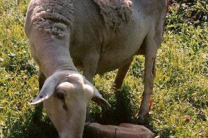 mouton angélique