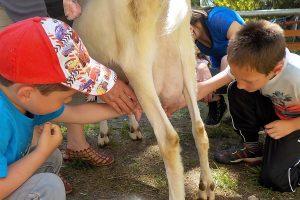traire … deux comme les cabris pour comprendre pourquoi le chŠvre produitt du lait